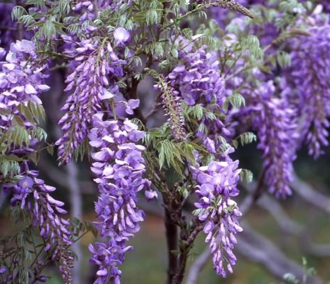 glicina-wisteria