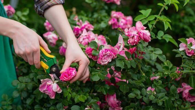 ingrijirea trandafirilor de gradina 1
