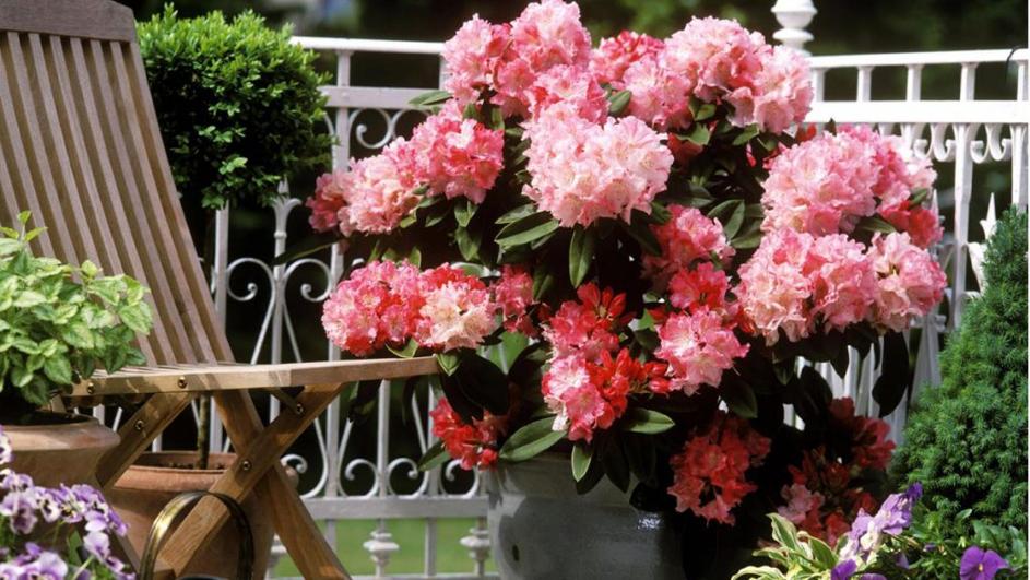 sfaturi simple pentru o azalee plina de flori
