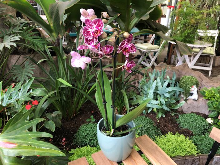 paduchele lanos la orhidee