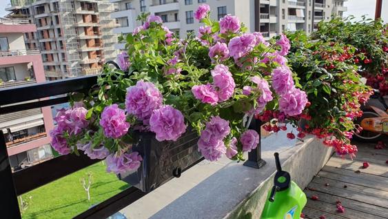 petunia in jardiniere santino