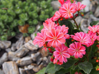 lewisia-suculenta