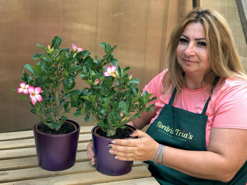 trandafirul desertului (adenium)-floraria trias