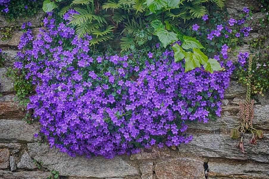 campanula -floraria trias