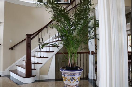 palmier areca-floraria trias