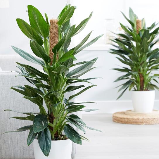 philodendron-floraria trias