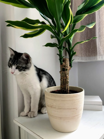 yucca-floraria trias