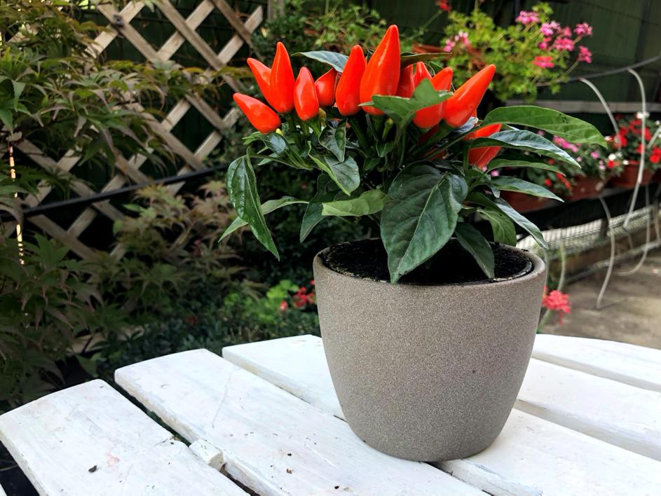 ardei decorativ-florararia trias
