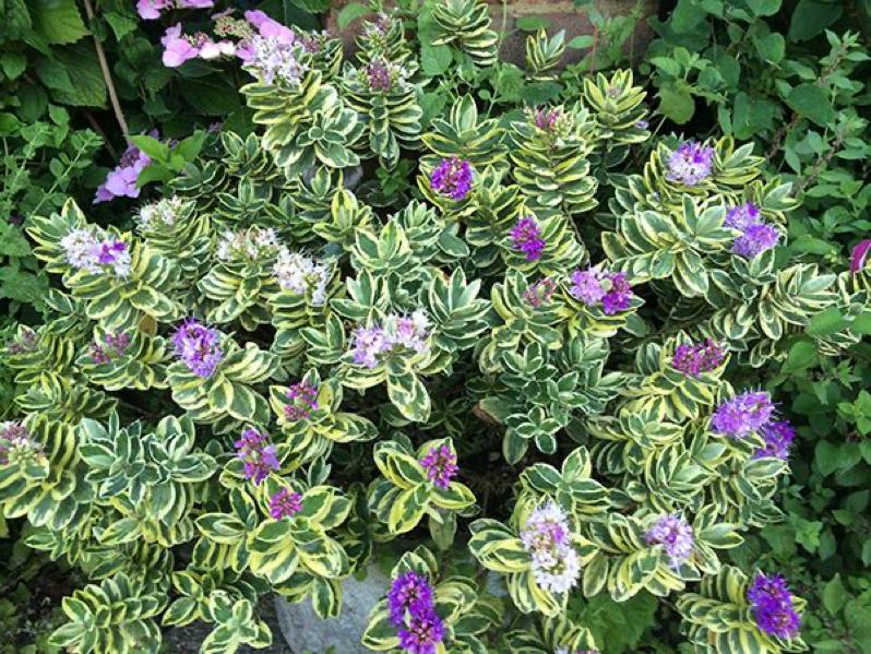 hebe-floraria trias