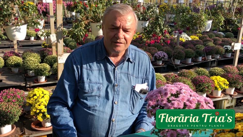 crizantema-floraria trias