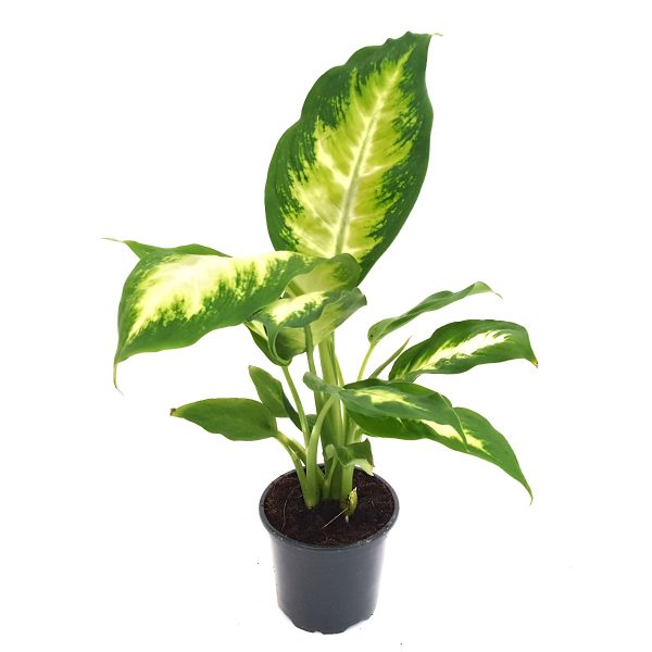 Dieffenbachia Camilla mica
