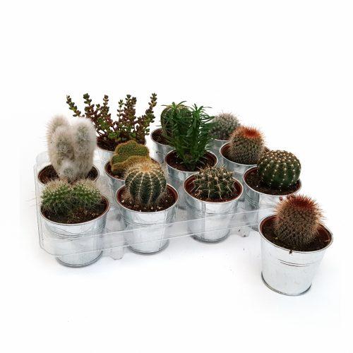 Cactus mixt in zinc