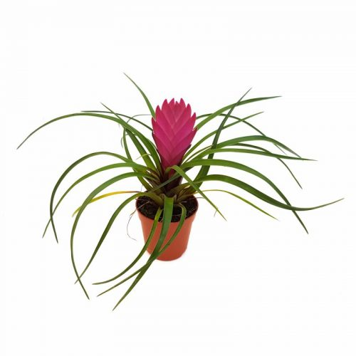 Tillandsia mini