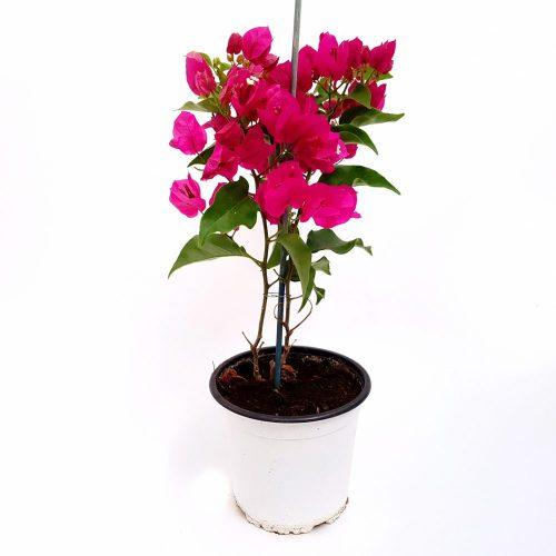 Bougainvillea-Floarea de hartie