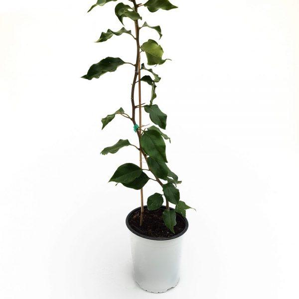 Bougainvillea 1 planta