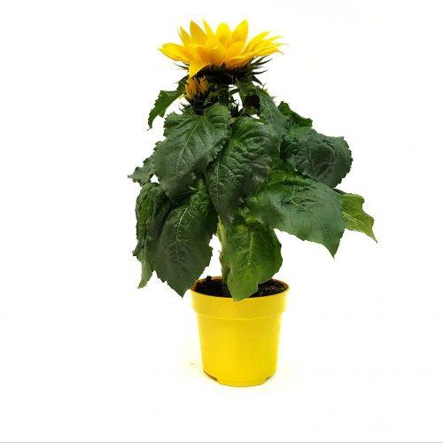Helianthus-Floarea Soarelui