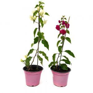 Bougainvillea Grecia - Floarea de hartie