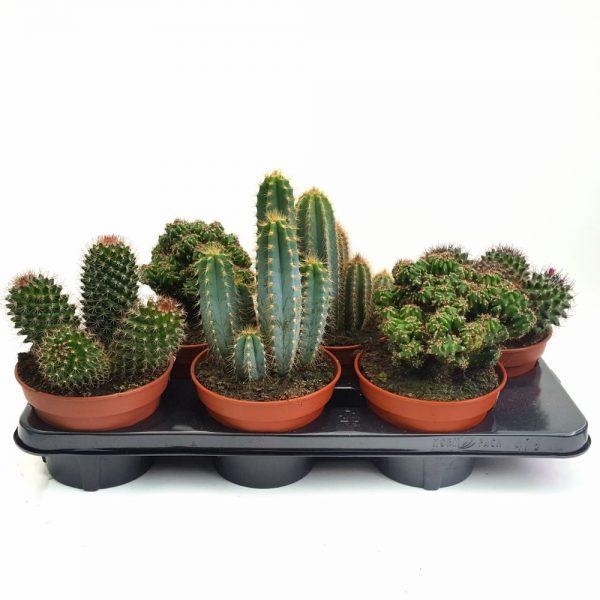 Cactus diverse varietati