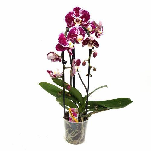 Orhidee - Phalaenopsis Arcada Elegant