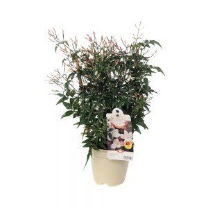 Jasminum premium -Iasomie pe scarita