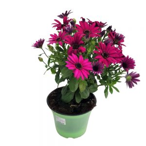 Osteospermum Grecia- Margareta africana