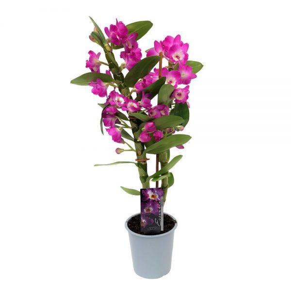 Dendrobium - Orhidee