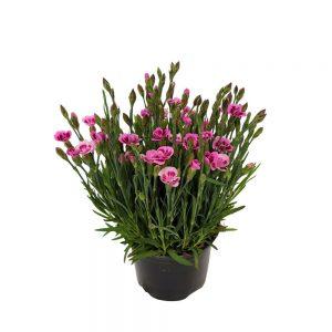 Garofite Pink Kisses