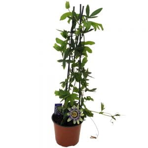 Passiflora Garden - Floarea pasiunii