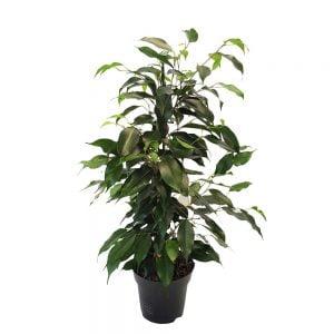 Ficus Benjamin mixt