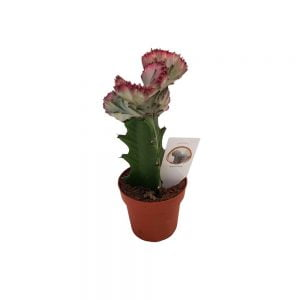 Euphorbia cristata lactea