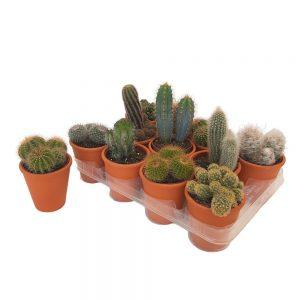 Cactus in ghiveci de lut