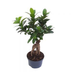 Bonsai ficus - Ginseng
