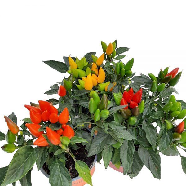 Capsicum standard - Ardei decorativ