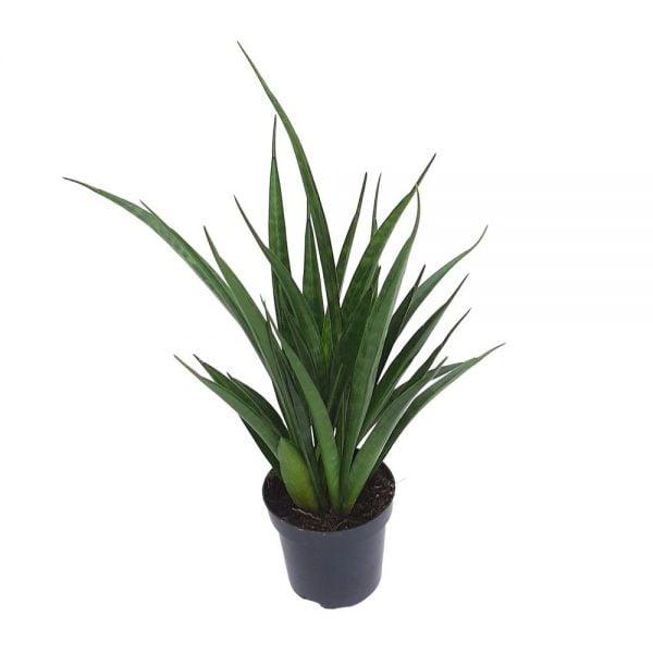 Sansevieria Green