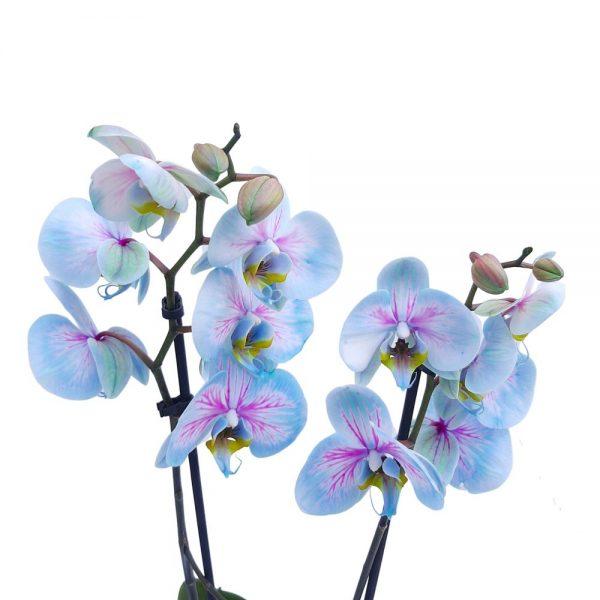 Orhidee Phalaenopsis Colorata