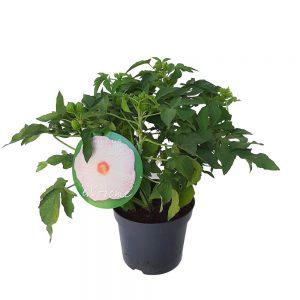 Hibiscus de gradina - premium