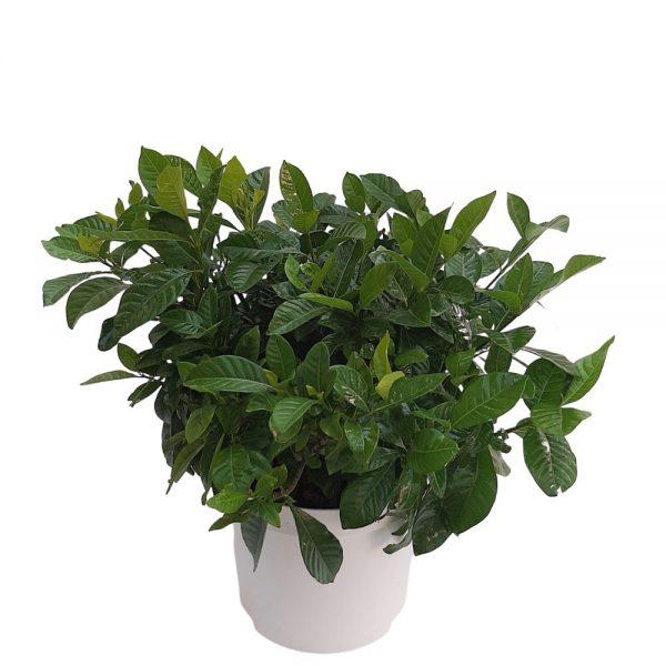 Gardenia la ghiveci