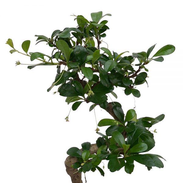 Bonsai ghiveci 13-15 cm