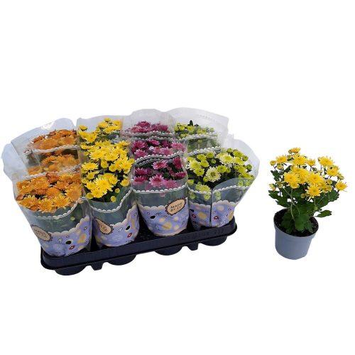Crizantema standard