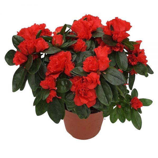 Rhododendron Azalee standard