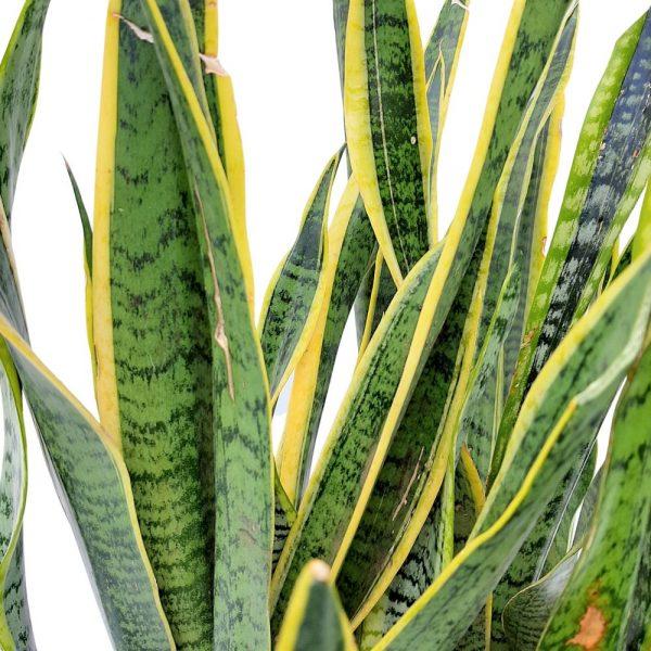 Sansevieria Laurentii bicolor D 17
