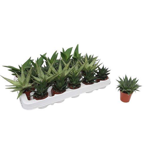 Aloe vera mini