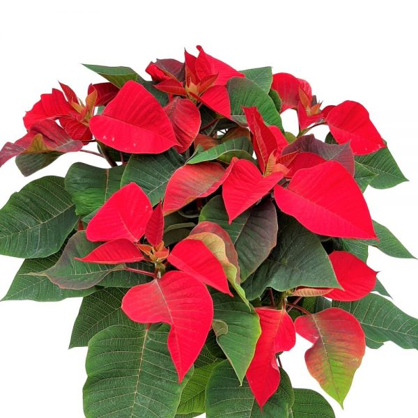 Craciunita - Euphorbia Steaua de Crăciun
