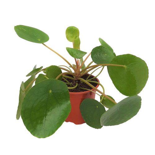 Pilea Peperomioides - Planta placinta