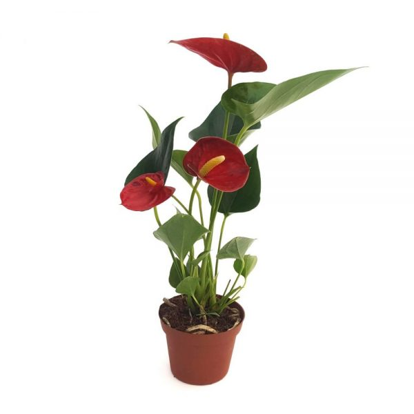 Anthurium - Floarea flamingo