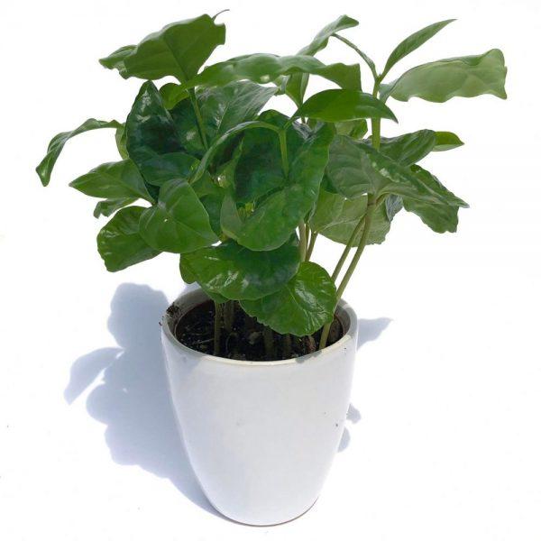 Arbore de cafea - Coffea Arabica