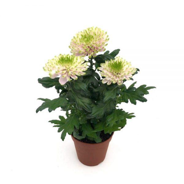 Crizantema Zembla