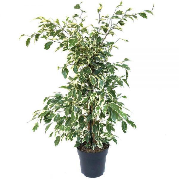 Ficus benjamin bicolor Twilight