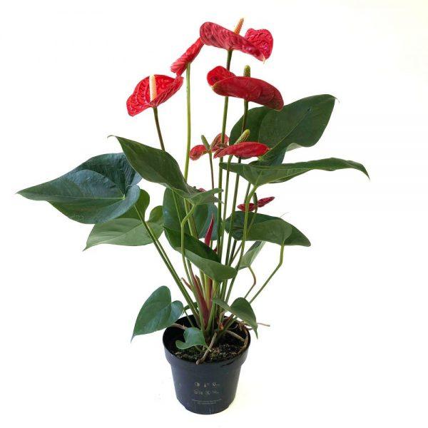 Anthurium - Floarea flamingo