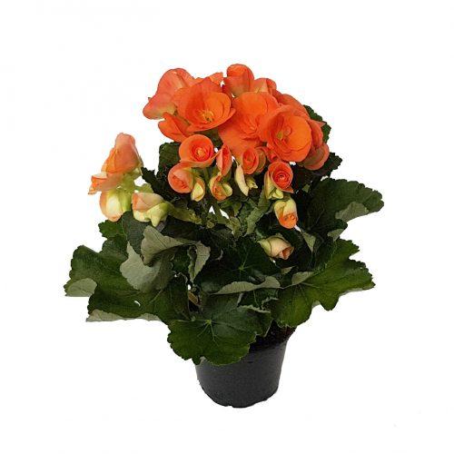 Begonia Elatior standard plus